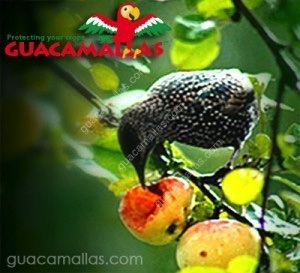 bird eating a fruit for lack of GUACAMALLAS netting